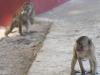 Świątynne małpy.