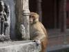 Kathmandu, świątynia Pashupatinath, małpie sprawy.