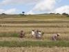 Zbieranie ryżu.