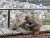 Kathmandu, Swayambhu, małpie igraszki. W tle miasto.