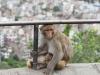 Kathmandu, Swayambhu, małpa duża i małpa mała. W tle miasto.