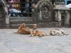 Kathmandu, Swayambhu, świątynne psy.